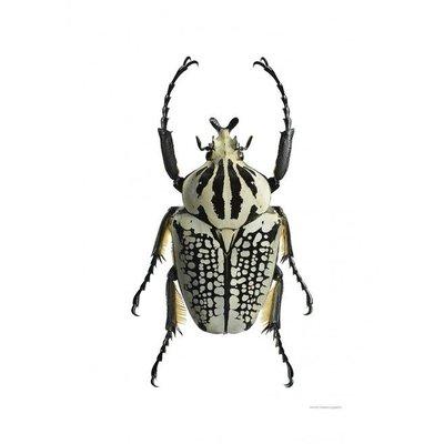 Liljebergs Goliathus Orientalis