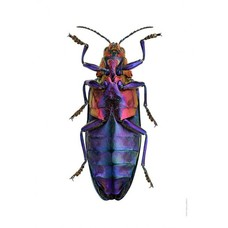 Liljebergs Chrysochroa Buqueti Rugicollis, underside
