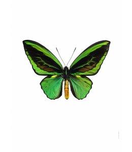 Liljebergs Macrofoto Print | Green Ornithoptera priamus | 50x70 cm