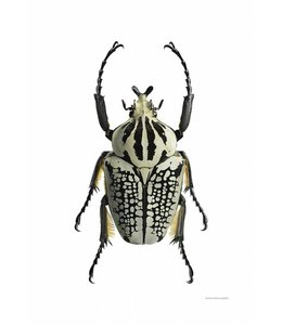 Liljebergs Macrofoto Print | 50x70 cm | Goliathus orientalis