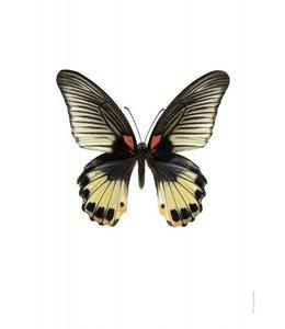 Liljebergs Photo Print | 30x40 cm | Papilio memnon