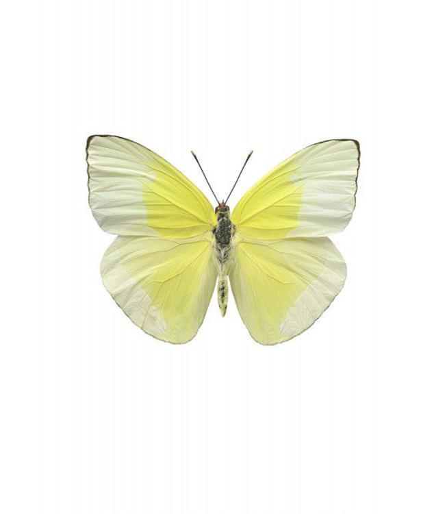 Liljebergs Macrofoto Poster   Vlinder Aphrissa statika
