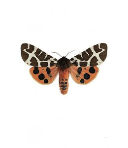 Liljebergs Photo Print Moth | 30x40 cm | Arctia caja