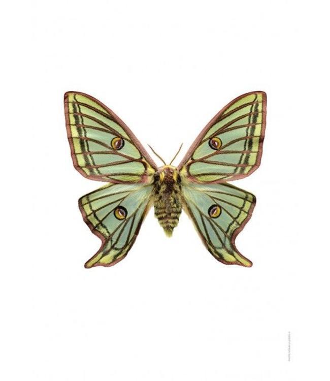 Liljebergs Macrofoto Poster | Vlinder Graellsia isabellae