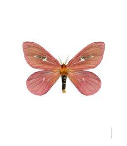 Liljebergs Print Vlinder Mot | Cerodirphia apunctata