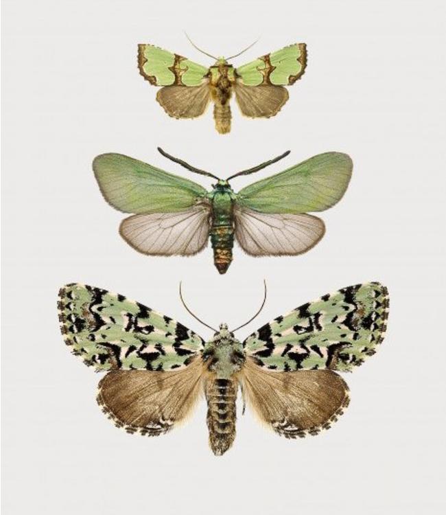 Liljebergs Groene vlinders | A5 | in lijst
