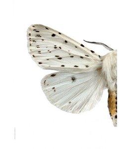 Liljebergs Double Macro photo White Butterfly