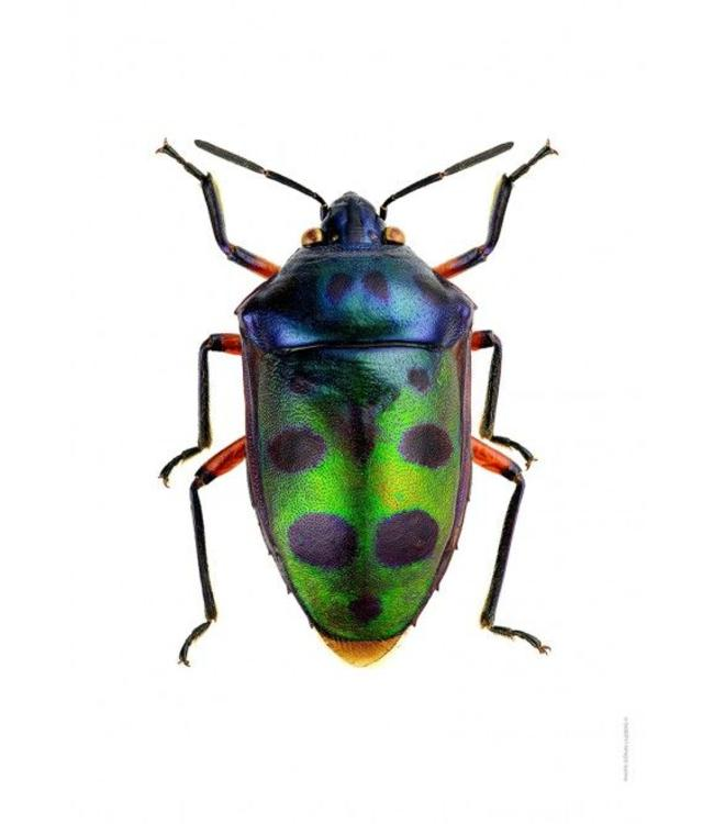 Liljebergs Macrofoto Poster Jewel Bug   A4