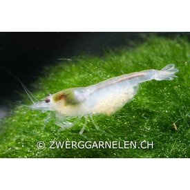 Zwerggarnelen.ch White Pearl - Neocaridina palmata var. white