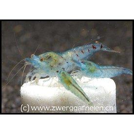 Zwerggarnelen.ch Blue Pearl - Neocaridina palmata var. blue