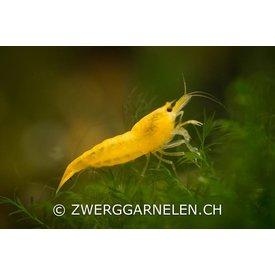 Zwerggarnelen.ch Yellow Fire - Neocaridina davidi var. yellow