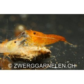 Zwerggarnelen.ch Orange Fire - Neocaridina davidi var. orange