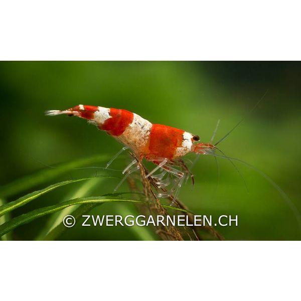 Zwerggarnelen.ch Red Bee K4