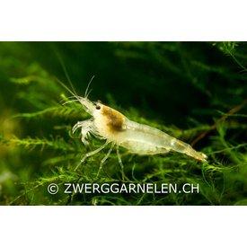 Zwerggarnelen.ch Weisse Bienengarnele