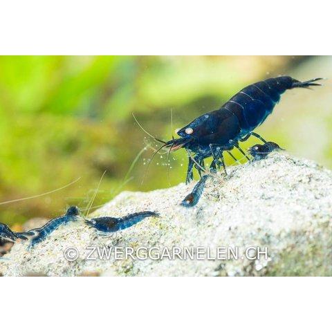 Royal Blue Tiger - Caridina cf cantonensis