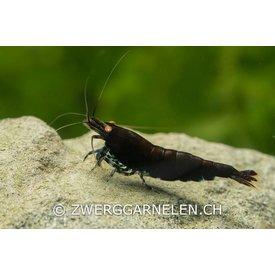 Zwerggarnelen.ch Black Tiger 'orange eye' - Caridina cf. cantonensis