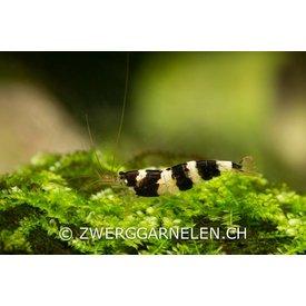 Zwerggarnelen.ch Princess Bee - Paracaridina spec.