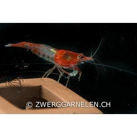 Zwerggarnelen.ch Red Rili - Neocaridina davidi var. rili