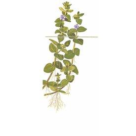 Tropica Bacopa caroliniana