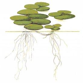 Tropica Limnobium laevigatum