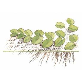 Tropica Salvinia auriculata