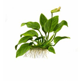 Tropica Anubias barteri var. nana