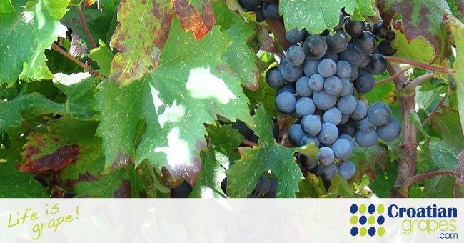 Croatian wine, New World or Old World?