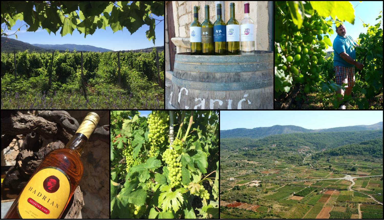 Wijnweetje van de week: De 'goddelijke' druif Bogdanuša