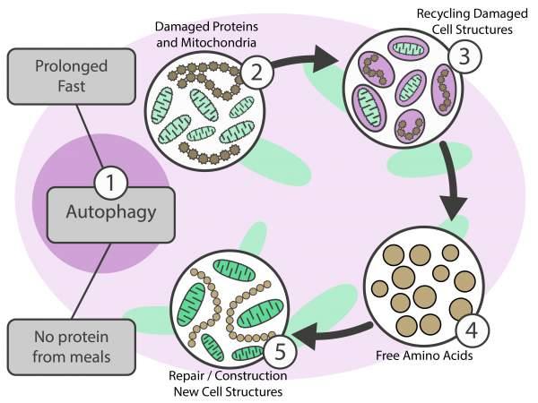 process of autophagy explained