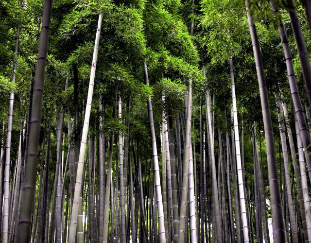 Wereldwijd bestaan er meer dan 1300 bamboesoorten.
