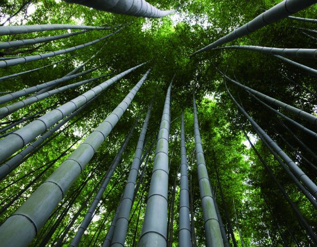 Bamboe is een echte 'powerplant' en kan in het groeiseizoen wel 30 tot 50 centimeter per dag groeien.