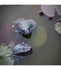 Guck mal, wer da quakt: Froschduo für den Gartenteich
