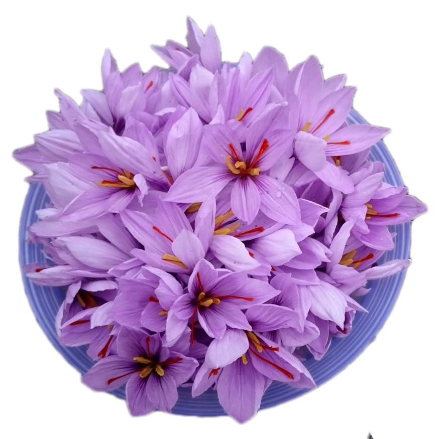 Een bakje met crocus Sativus bloemen