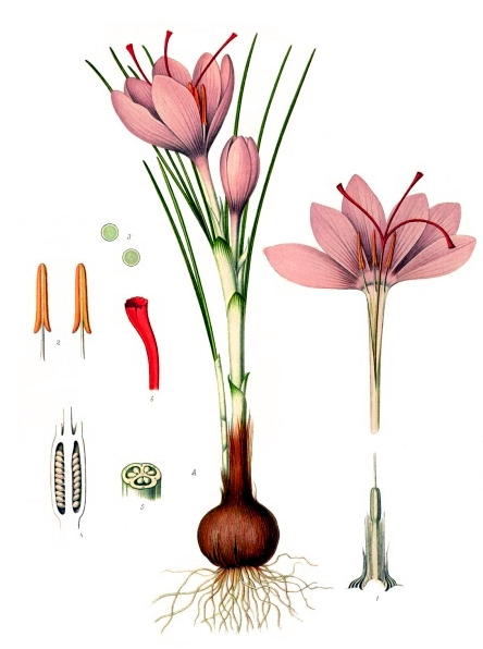Crocus sativus Linnaeus