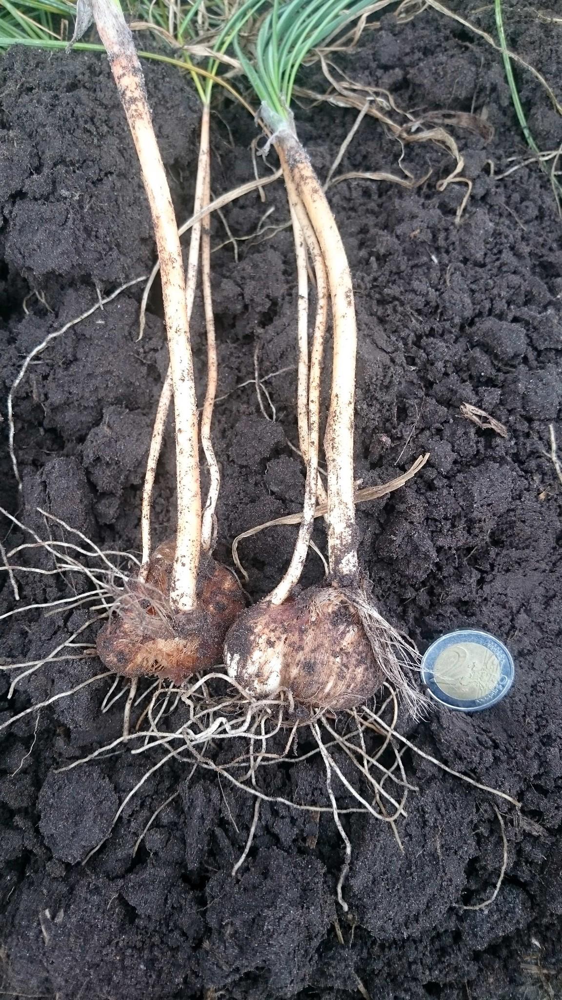 Crocus Sativus bol in de grond