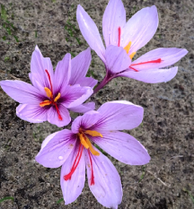 Crocus Sativus flowering