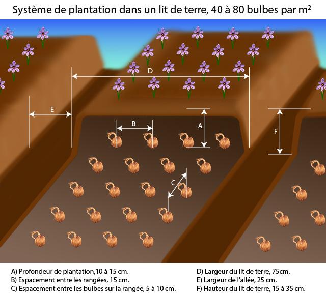 Instructions de plantation de bulbes de safran -système de lit de semence-