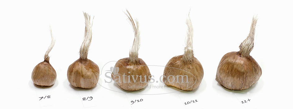 Saffron bulb sizes