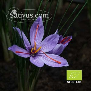 Crocus sativus 50 bulbes calibre 10/+ - BIO