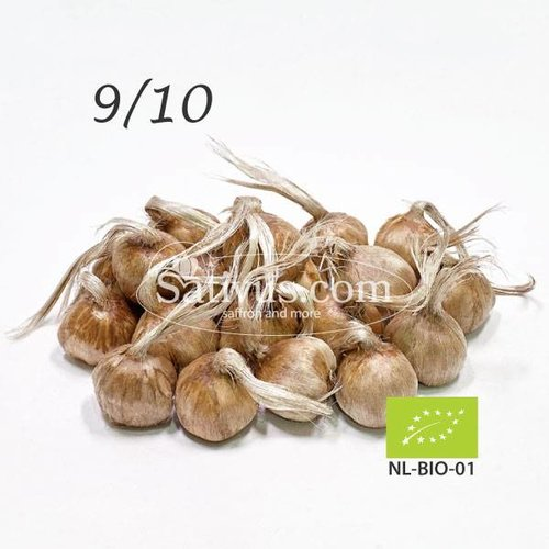Crocus sativus 10 bulbes calibre 9/10 - BIO