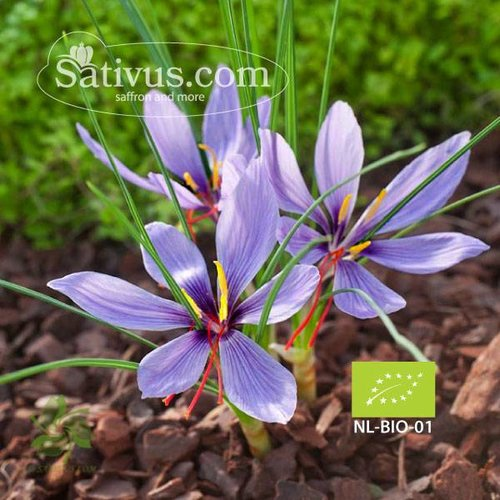 Crocus sativus 1000 bulbes calibre 8/9 - BIO