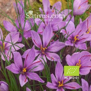 Crocus sativus 250 bulbes calibre 8/9 - BIO