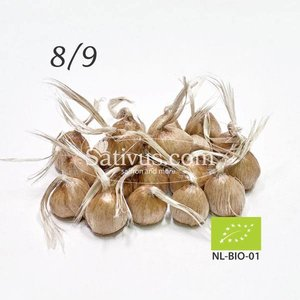 Crocus sativus 100 bulbi calibro 8/9 - BIO