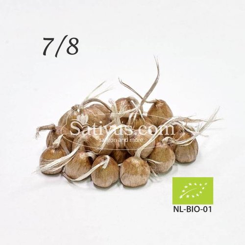 Crocus Sativus 500 corms size 7/8 - BIO