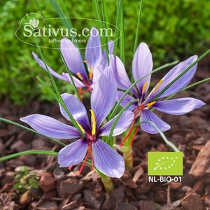 Crocus sativus 10 bulbi calibro 7/8 - BIO