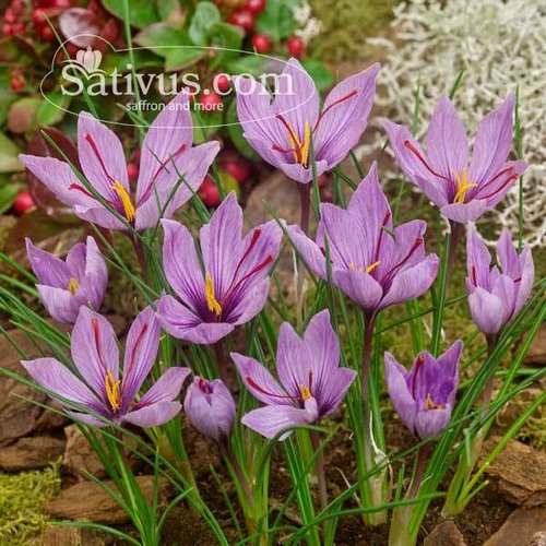 Crocus sativus 250 bulbs size 10/+