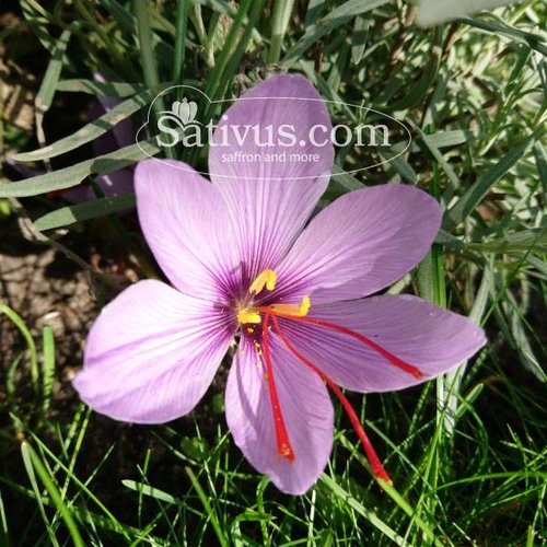 Crocus sativus 1000 bulbes calibre 8/9