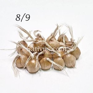 Crocus Sativus 100 corms size 8/9