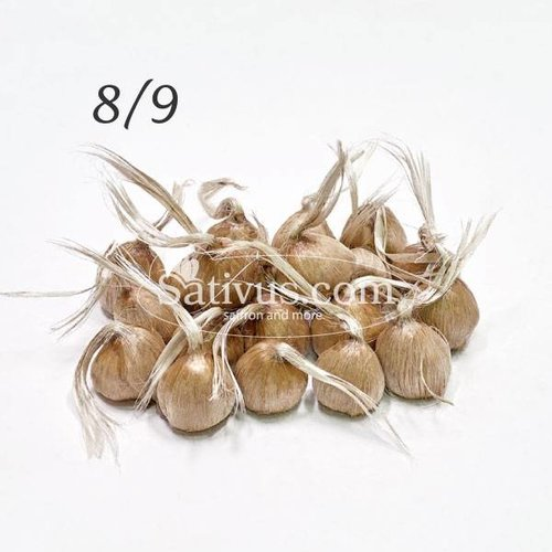 Crocus sativus 25 bulbes calibre 8/9