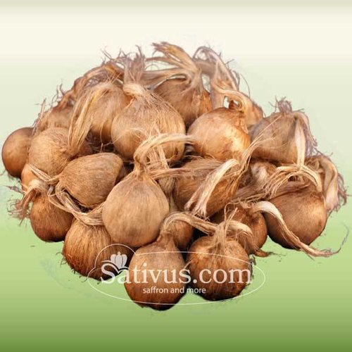 Crocus Sativus 500 corms size 7/8